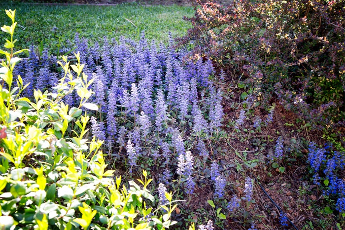 Ajuga growing in the front yard