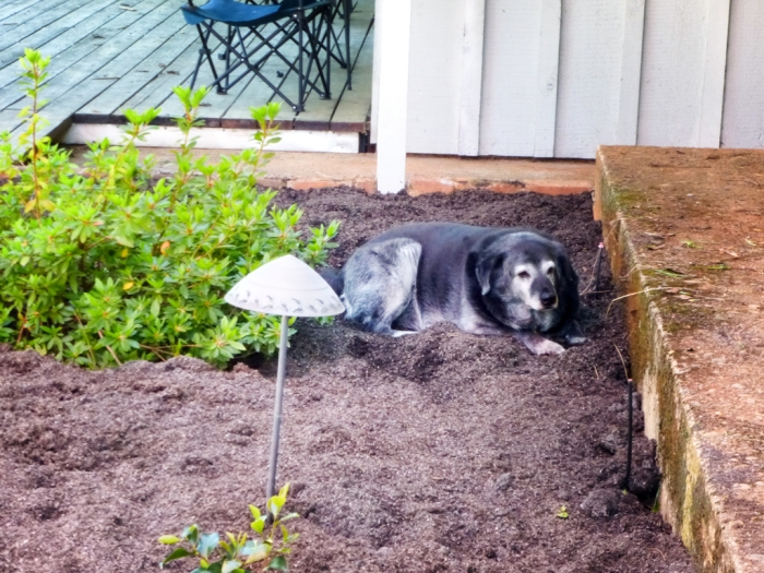 Obie enjoys the new dirt in the planter