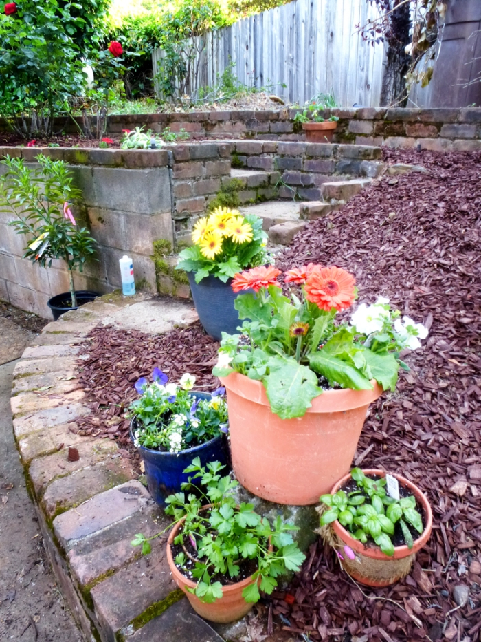 Pots of cheery flowers and herbs, mulch and cleaned up stairway to roses.