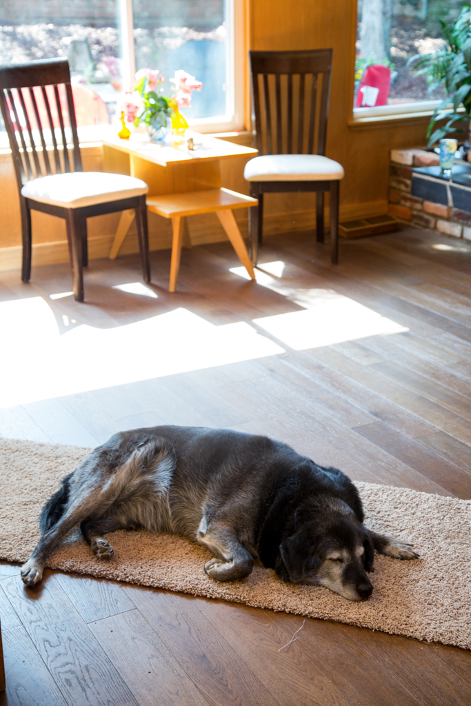 Obie was exhausted and fell asleep on his rug remnant that helps him to navigate the wood floors.